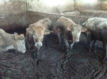 vacas-3