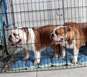 170910-exposicion-canina-san-felices-008